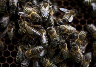 BRITISH NATIVE DARK HONEY BEES
